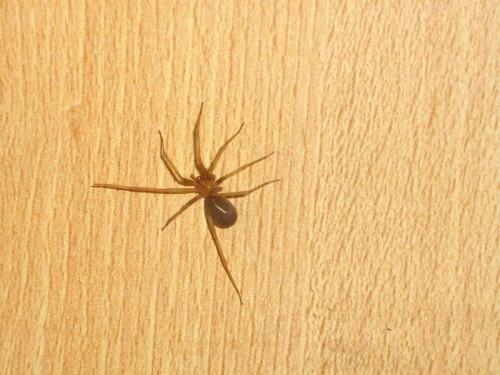 Myrkyllinen ruskohämähäkki (kuva: Wikimedia Commons)